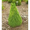 Picea glauca ´Zuckerhut´  Smrk sivý ´Zuckerhut´