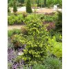 Picea orientalis ´Early Gold´  Smrk východní ´Early Gold´