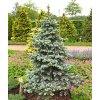 Picea pungens ´Retroflexa'  Smrk pichlavý ´Retroflexa'