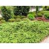 Juniperus communis ´Repanda´  Jalovec obecný ´Repanda´