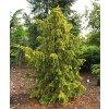 Taxus baccata ´Dovastonii Aurea´  Tis červený ´Dovastonii Aurea´