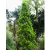Thuja orientalis ´Pyramidalis Aurea´  Zerav východní ´Pyramidalis Aurea´