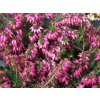 Erica carnea Challenger- růžovočervená  Vřesovec pleťový Challenger