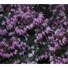 Erica carnea Heathwood - růžovomodrá  Vřesovec pleťový Heathwood