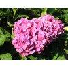 Hydrangea macrophylla ´Europa´  Hortenzie velkolistá ´Europa´