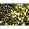 Jasminum nudiflorum  Jasmín nahokvětý
