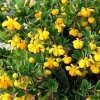 Berberis buxifolia 'Nana'  Buxus zimostrázový 'Nana'