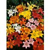 Lilium - směs asijských hybridů (5 ks)  Lilie - směs barev