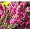 Calluna vulgaris 'Peter Sparkes' - růžový  Vřes obecný 'Peter Sparkes'
