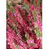 Calluna vulgaris 'Aphrodite' - růžovočervený  Vřes obecný 'Aphrodite'