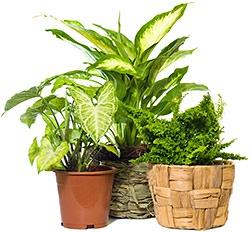 Když rostliny vadnou