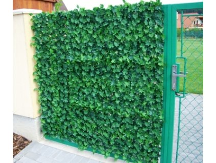 Břečťanový plot 1 m2