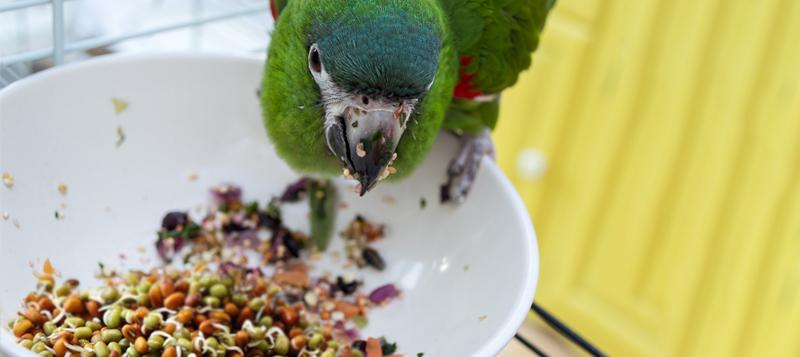 Klíč ke správnému klíčení zrní pro papoušky