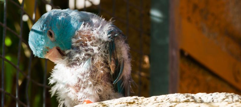 Tipy pro zdraví: Poznáte, že papouška něco trápí?