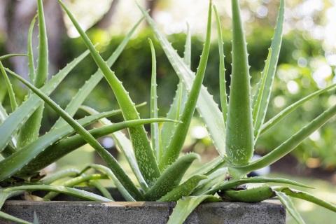 Aloe pravá