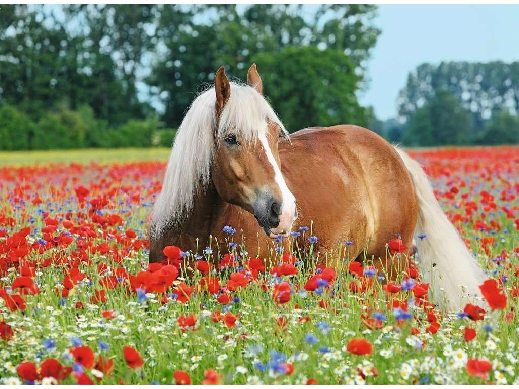 RAVENSBURGER Puzzle Kůň v makovém poli 500 dílků