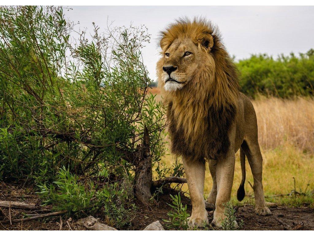 RAVENSBURGER Puzzle Král lvů 1000 dílků