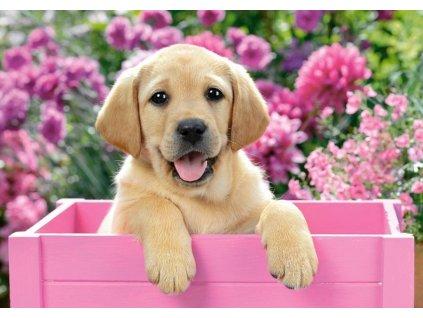 CASTORLAND Puzzle Labrador v růžovém boxu 300 dílků