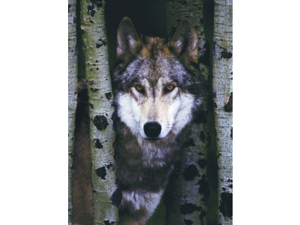 EUROGRAPHICS Puzzle Šedý vlk 1000 dílků