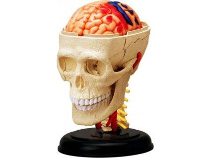 4D MASTER Anatomický 4D model - Lebka
