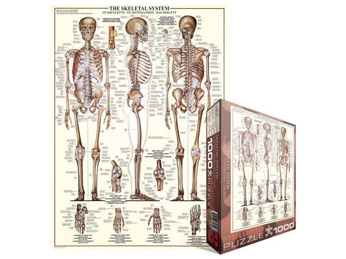 Kosterní soustava (The Skeletal System)