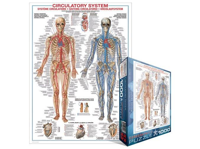 Oběhová soustava (Circulatory System)