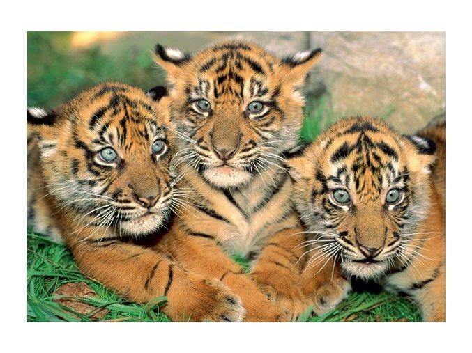 Tygří mláďata