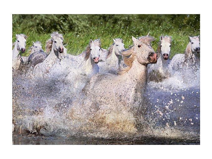 Bílí koně z Camarque