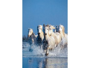 Koně v cvalu - HQC