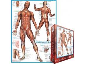 Svalová soustava (The Muscular System)