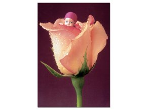 Miniatura: Anne Geddes: Anglická růže