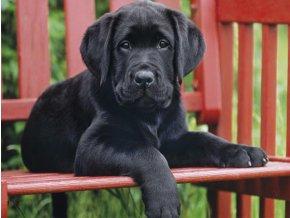 Černé štěně (The Black dog) - HQC