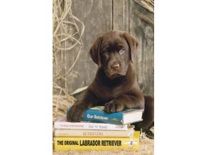 Labrador Retriever - Ležení v knihách (Laying on the books) - HQC