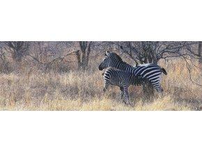 Alexander von Humboldt: Zebry - Krmení mláděte (Feeding) - panorama