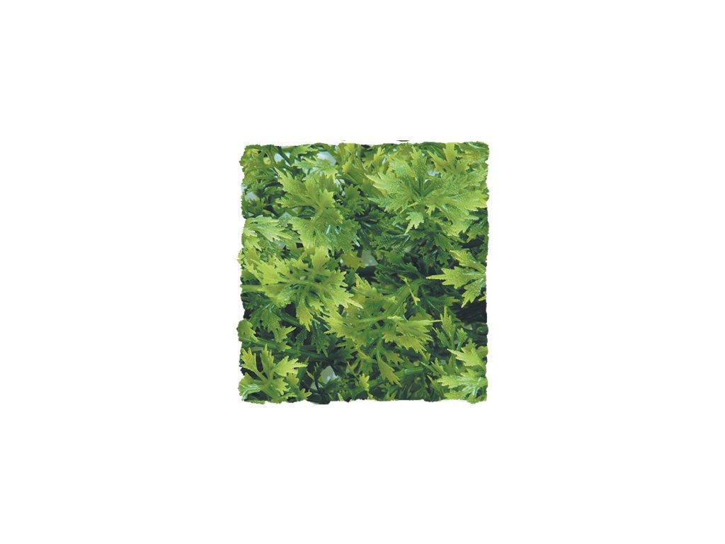 Australian Maple – Přírodní keřová rostlina