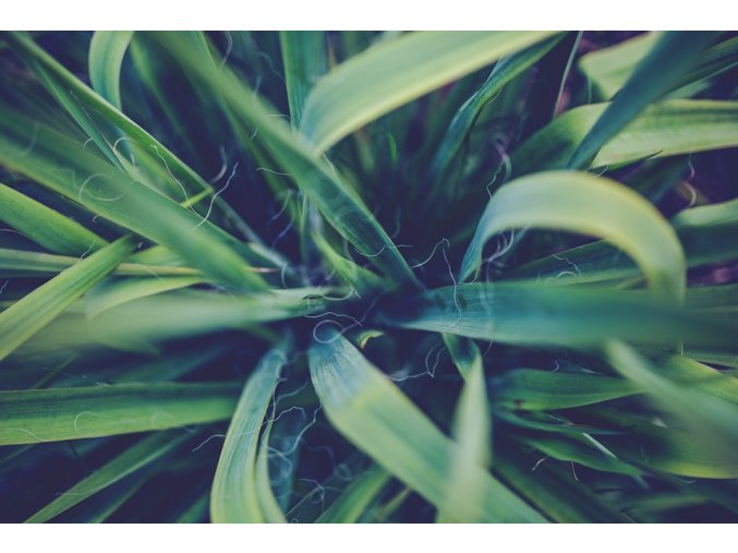 Yucca schidigera, 400g