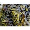 Kelpa - Hnědá mořská řasa z Ráje, 500 g