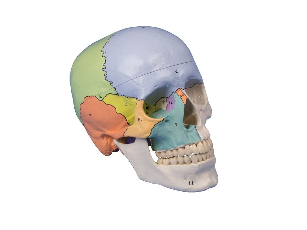 Didaktický model lebky