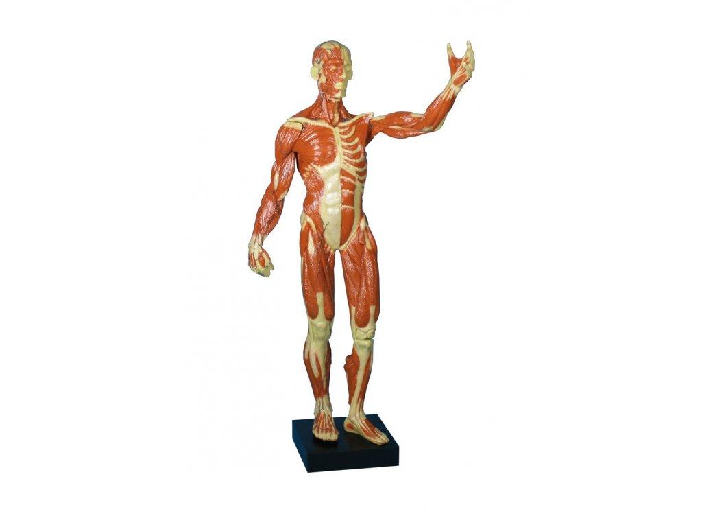 Svalový model těla
