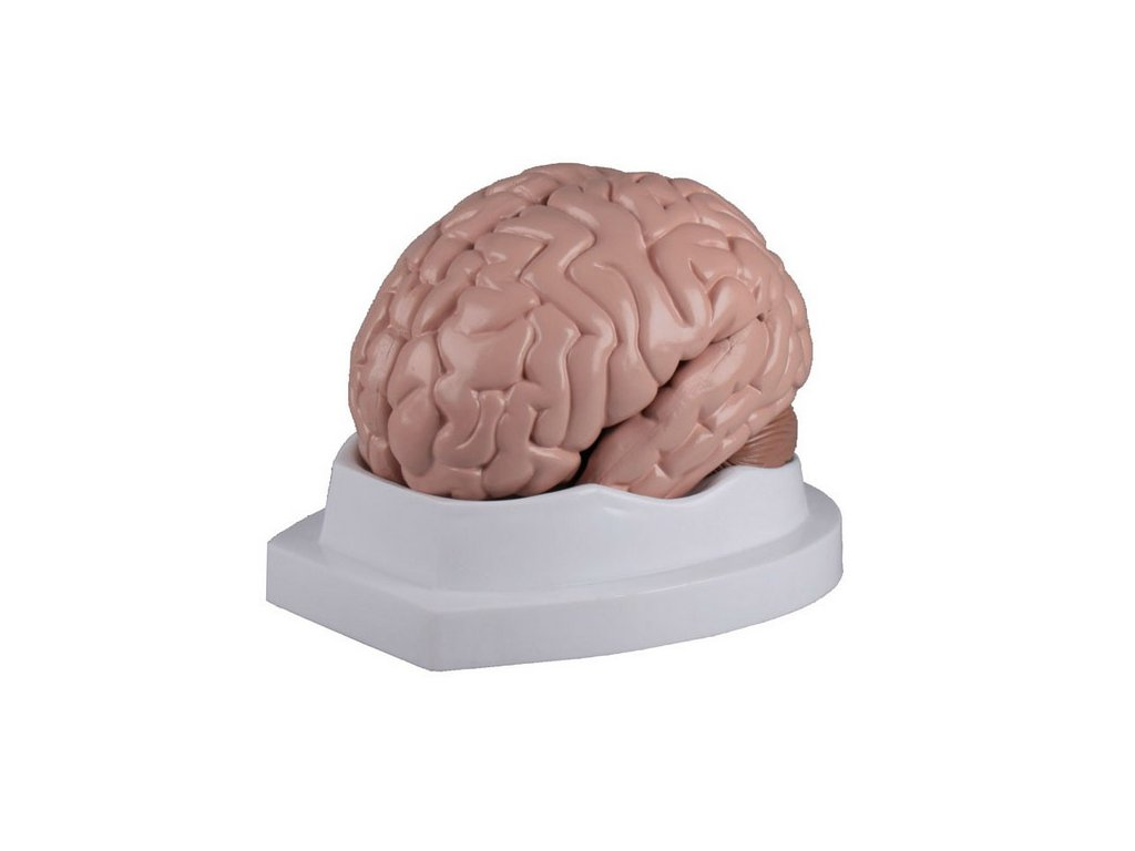 Model mozku - rozkládací