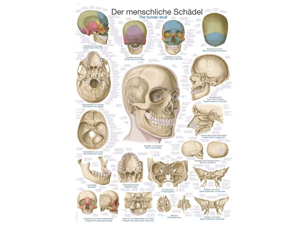 Plakát - lidská lebka 70x100 cm