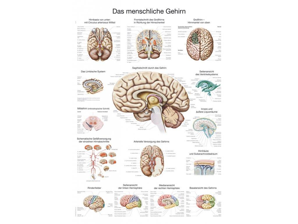 Plakát - lidský mozek 70x100 cm