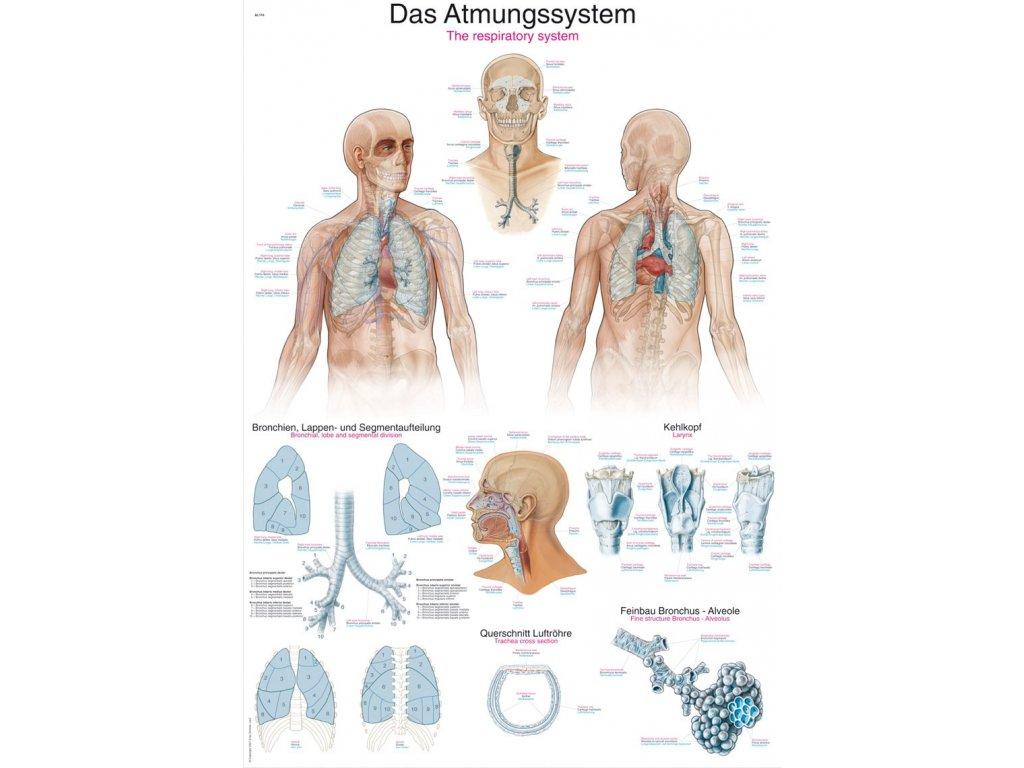 Plakát - dýchací systém 70x100 cm