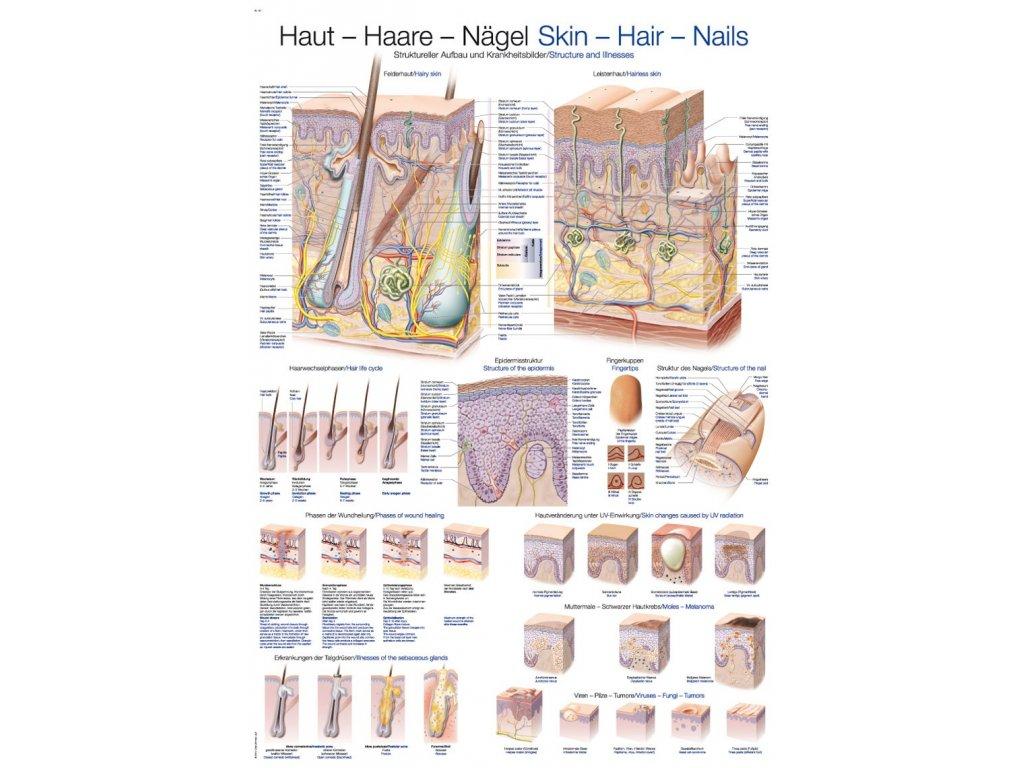 Plakát - kůže - vlasy - nehty 70x100 cm