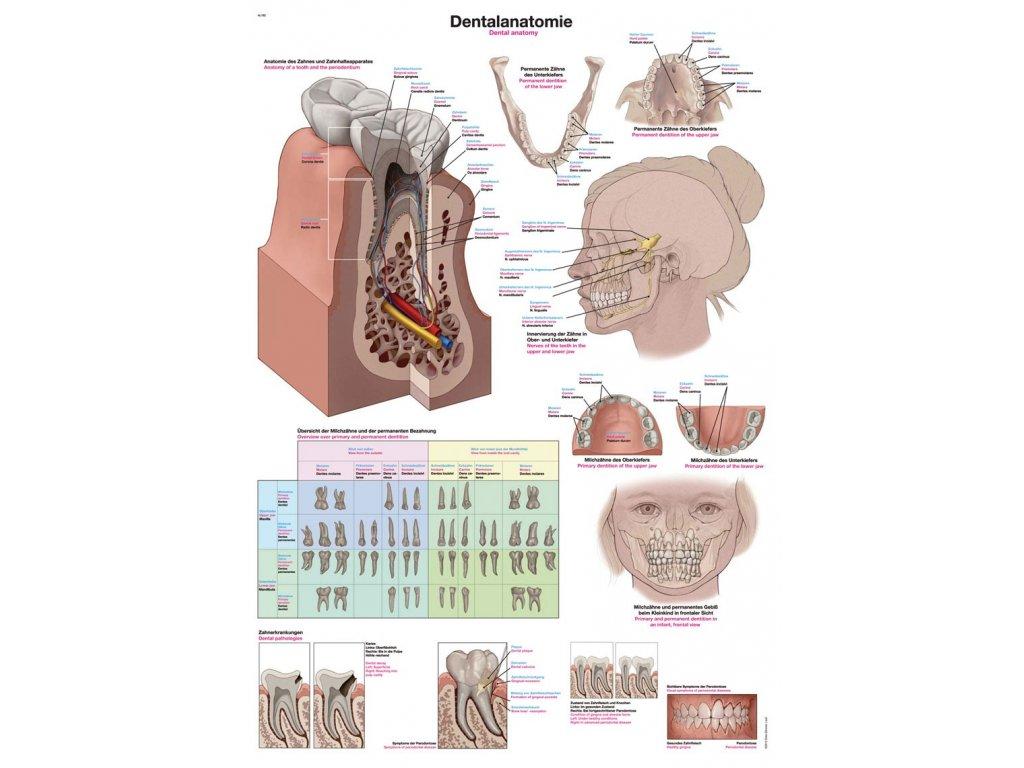 Plakát - dentální anatomie 70x100 cm