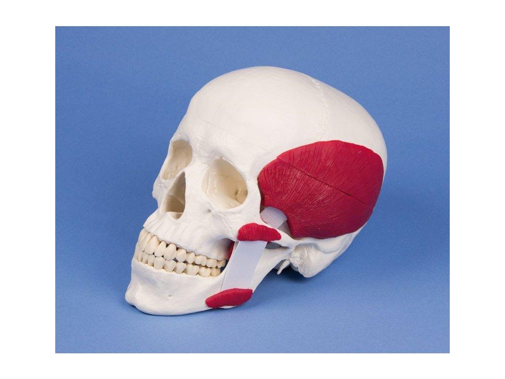 Model lebky se žvýkacími svaly