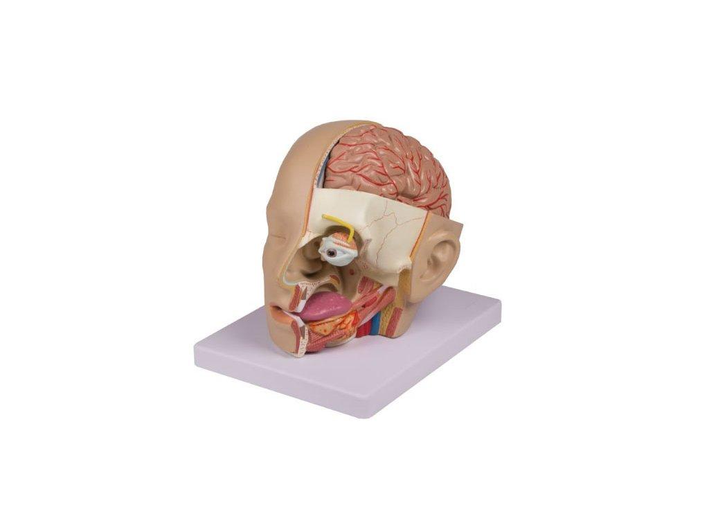 Model hlavy - 4 dílný