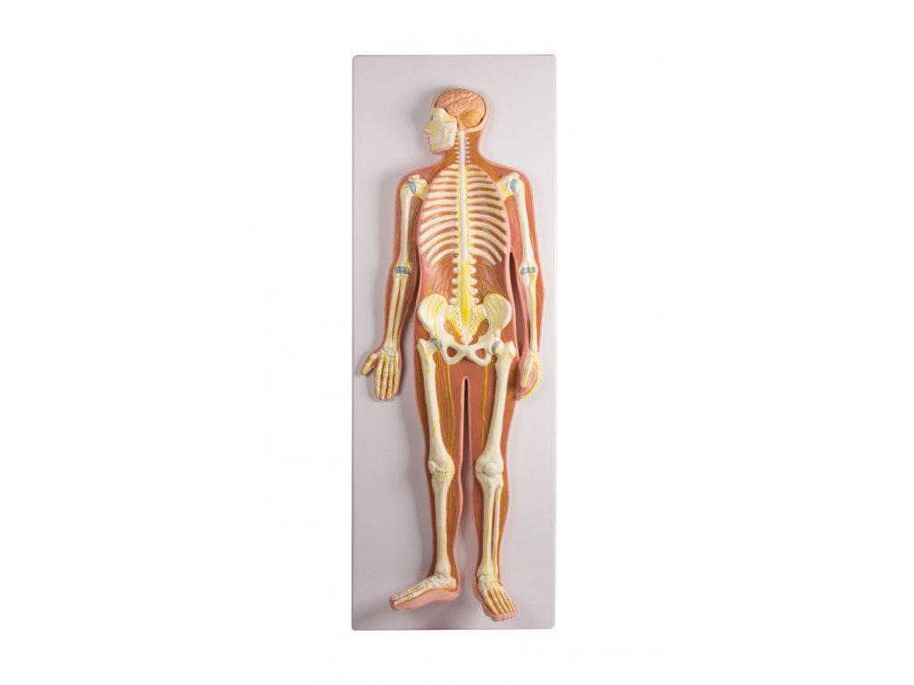 Nervový systém - 1 životní velikosti