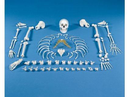 Kostra - kolekce kostí