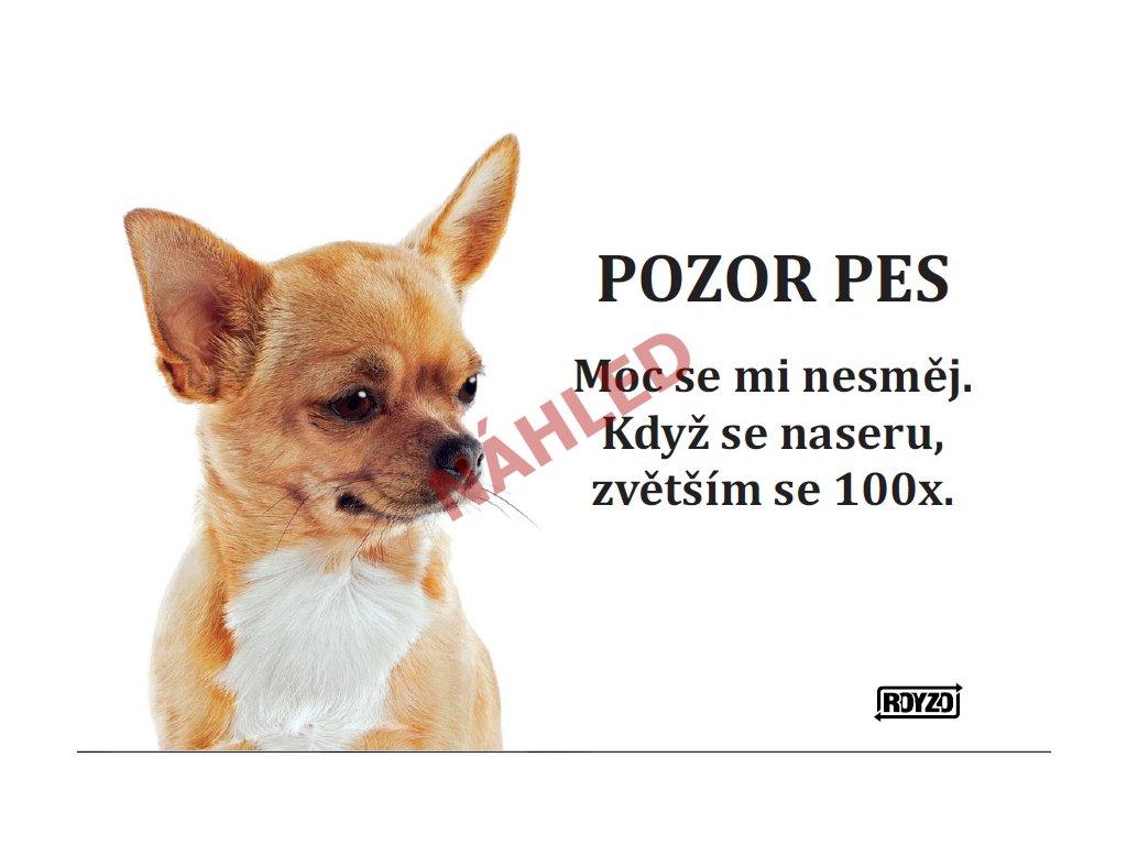 Výstražná vtipná cedule pozor pes - psí plemeno Čivava hladkosrstá světlá